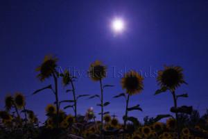 伊良部島 月と向日葵