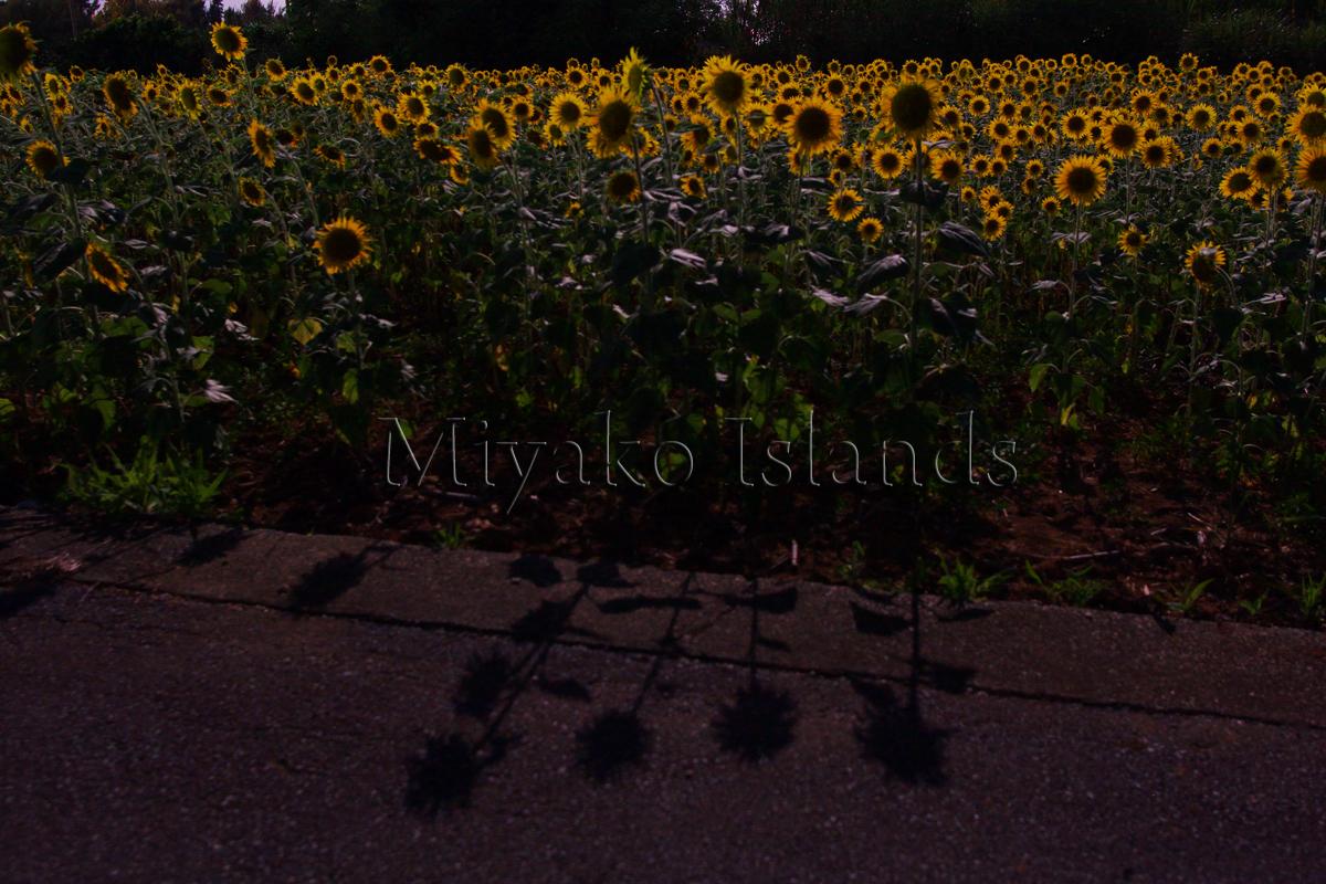 伊良部島 月夜の向日葵